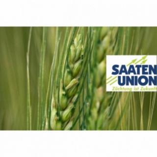 Насіння пшениці Чірон
